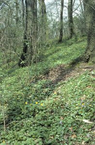 Der Laubmischwald der Sternhelle mit gut ausgeprägter Strauch- und Krautschicht.