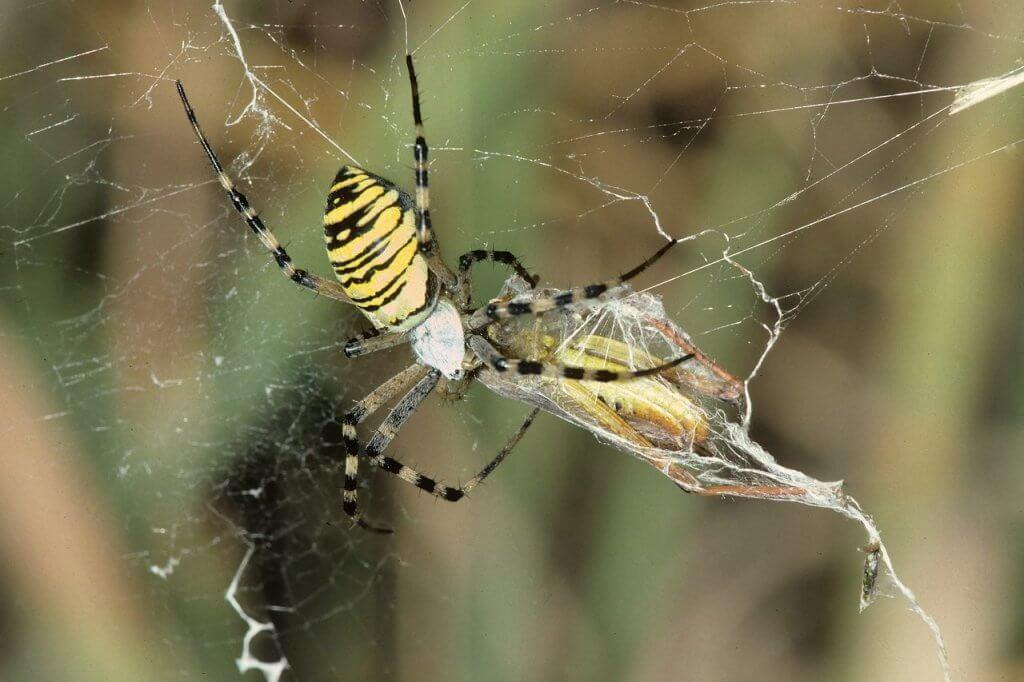 Wespenspinne mit gefangener Feldheuschrecke.