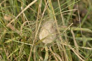 In trockene Grashalme eingesponnener krugförmiger Eikokon der Wespenspinne.