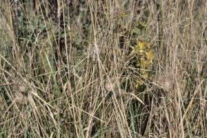 In Grasbüschel eingesponnene Eikokons der Wespenspinne