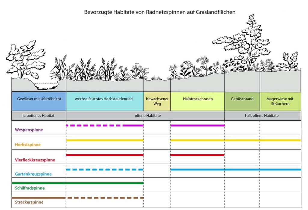 Habitatpräferenz von Radnetzspinnen auf differenziert strukturierten Graslandflächen; durchgezogene Linie: bevorzugt besiedelte Habitatstruktur, gestrichelte Linie: gering besiedelte Habitatstruktur; (nach NYFFELER & BENZ 1989 und eigenen Beobachtungen)