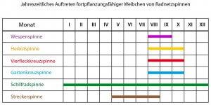 Auftreten von Radnetzspinnen im Jahresablauf (nach NYFFELER & BENZ 1989 und eigenen Beobachtungen)