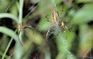 Zwei männliche Wespenspinnen im Netz eines paarungsbereiten Weibchens.
