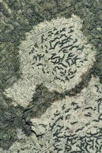 Kennzeichnend für die Schriftflechte sind die an Schriftzeichen erinnernden länglichen, dunklen Fruchtkörper oder Apothecien, die mit ihren aufgewölbten Rändern etwas aus dem Lager herausragen.