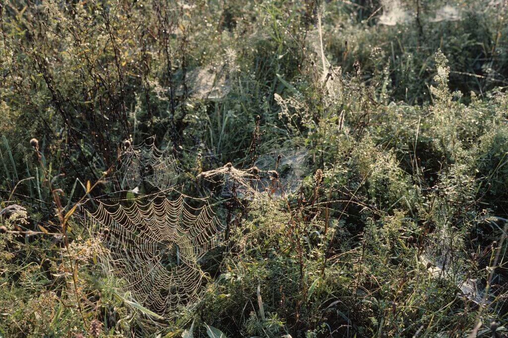 Spinnennetze in der Ruhraue im Morgentau Ende September