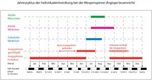 Abhängigkeit der Individualentwicklung der Wespenspinne vom jährlichen Hell-Dunkel-Phasenrhythmus.