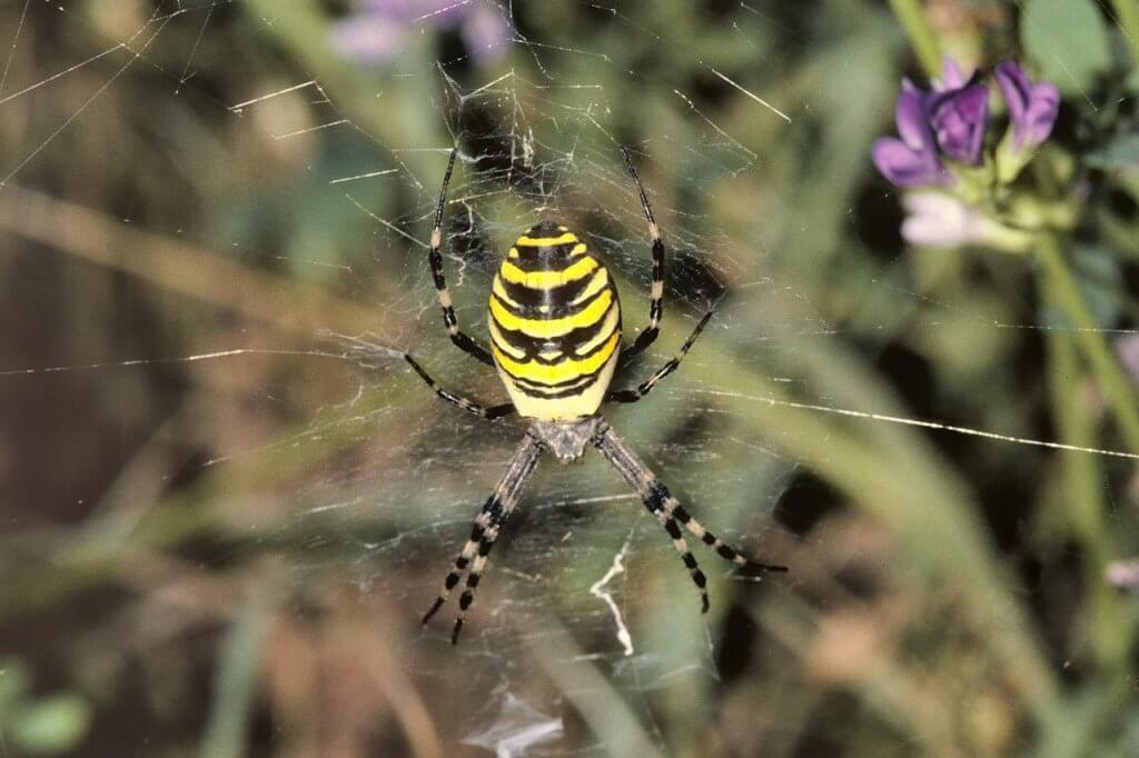 Reife weibliche Wespenspinne im Zentrum ihres Netzes